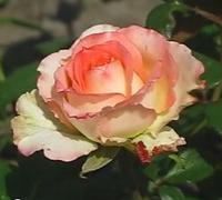 Роза Дует. Чайно-гибридная.  , фото 1