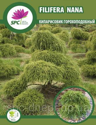 Кипарисовик горохоплодный Filifera Nana, фото 2