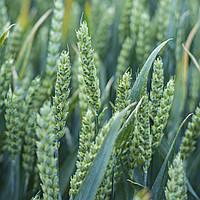 Насіння озимої пшениці Скаген, Saaten Union, 1 тонна