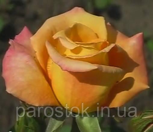 Роза Австралиан Голд. Чайно гибридная.