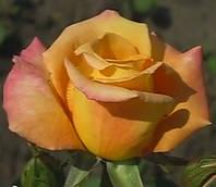 Роза Австралиан Голд. Чайно-гибридная роза.  , фото 1