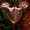 Sarracenia (Саррацения) семена 3шт