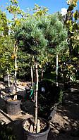 """Сосна обыкновенная """"Ватерери"""" Pinus Sylvestris """"Watereri"""" h1,9м C35L"""