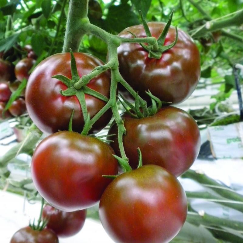 Семена томата Биг Сашер F1, Yuksel seeds 500 семян