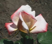 Роза Летиция Каста. Чайно-гибридная.   , фото 1