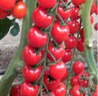 Семена томата Марголь F1, Yuksel seeds 100 семян | профессиональные