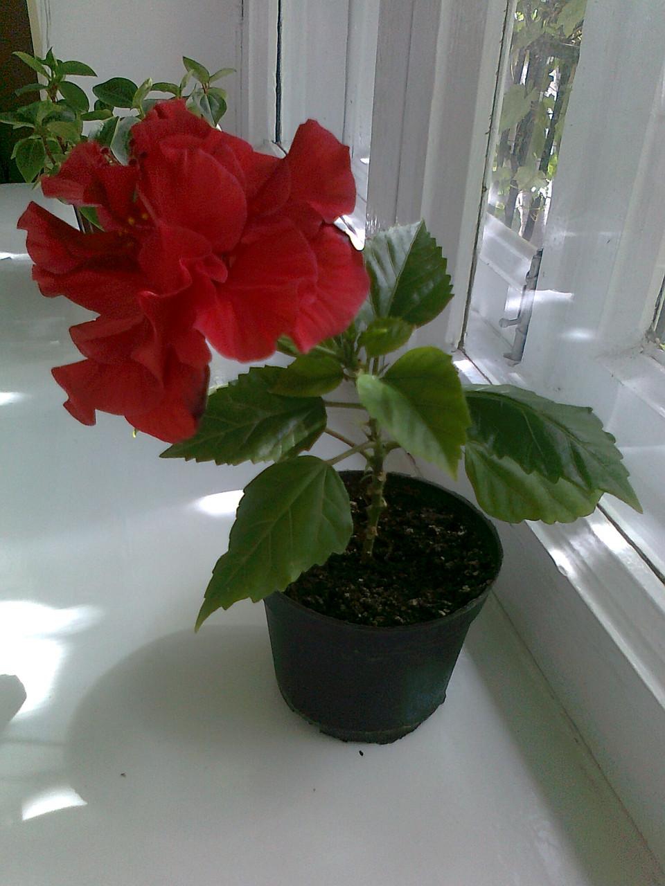 Гибискус махровый - китайская роза