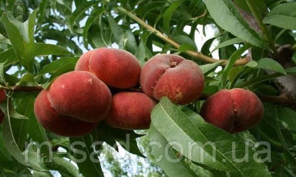 Саженцы Инжырного Персика Никитский(зимостойкий,скороплодный), фото 2