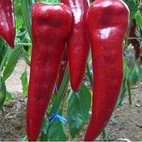 Ранний гибрид сладкого перца тип Капи Армагеддон F1, профессиональные семена  Yuksel seeds 500 семян