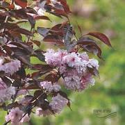 Персик з червоним листям Бургунді (пізній,морозостійкий)