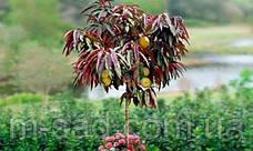 Персик с красными листьями Бургунди (поздний,морозостойкий), фото 3