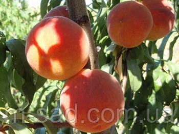 Саженцы Персика Вайн-Голд (Т-3)(средний срок,крупный,зимостойкий), фото 2
