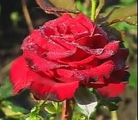 Роза Гран При. Чайно-гибридная роза.