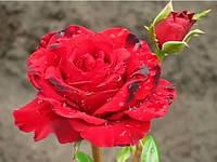 Роза «Ферст Ред». Чайно-гибридная роза.