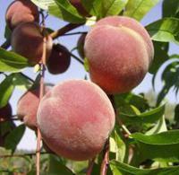Персик Роял Глори(ранне-средний,вкусный,урожайный), фото 2