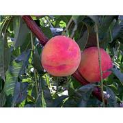 Персик Фламінго(скороплідний,середньо рослий,великий)