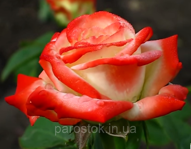 Роза Императрица Фарах. Чайно-гибридная роза.