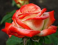 Роза Императрица Фарах. Чайно-гибридная роза., фото 1