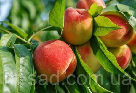 Персик Редхвейн(самоплодный,урожайный), фото 2