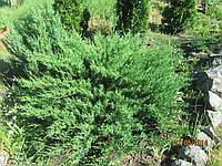 Саженцы можжевельника  Минт Джулеп (Juniperus Mint Julep) в контейнере 0,8л