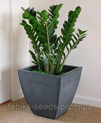 Замиокулькас или Долларовое дерево - растение 18-20см.