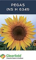 Насіння соняшника Пегас (Pegas) під євролайтинг Преміум