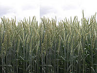 Семена пшеницы озимой Берегиня Миронівська (Элита)