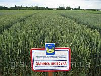 Семена пшеницы озимой Даринка Киевская (1 репродукция)