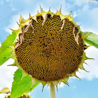 Насіння соняшника Вінченцо Під Гранстар фракція преміум