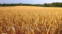 Семена пшеницы озимой Мудрость Одесская (1 репродукция)