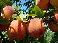 Саженец персика Харнас