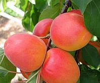 Саженцы абрикоса Эрли Блуш (Блаш)