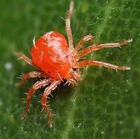 Павутинний кліщ на сої