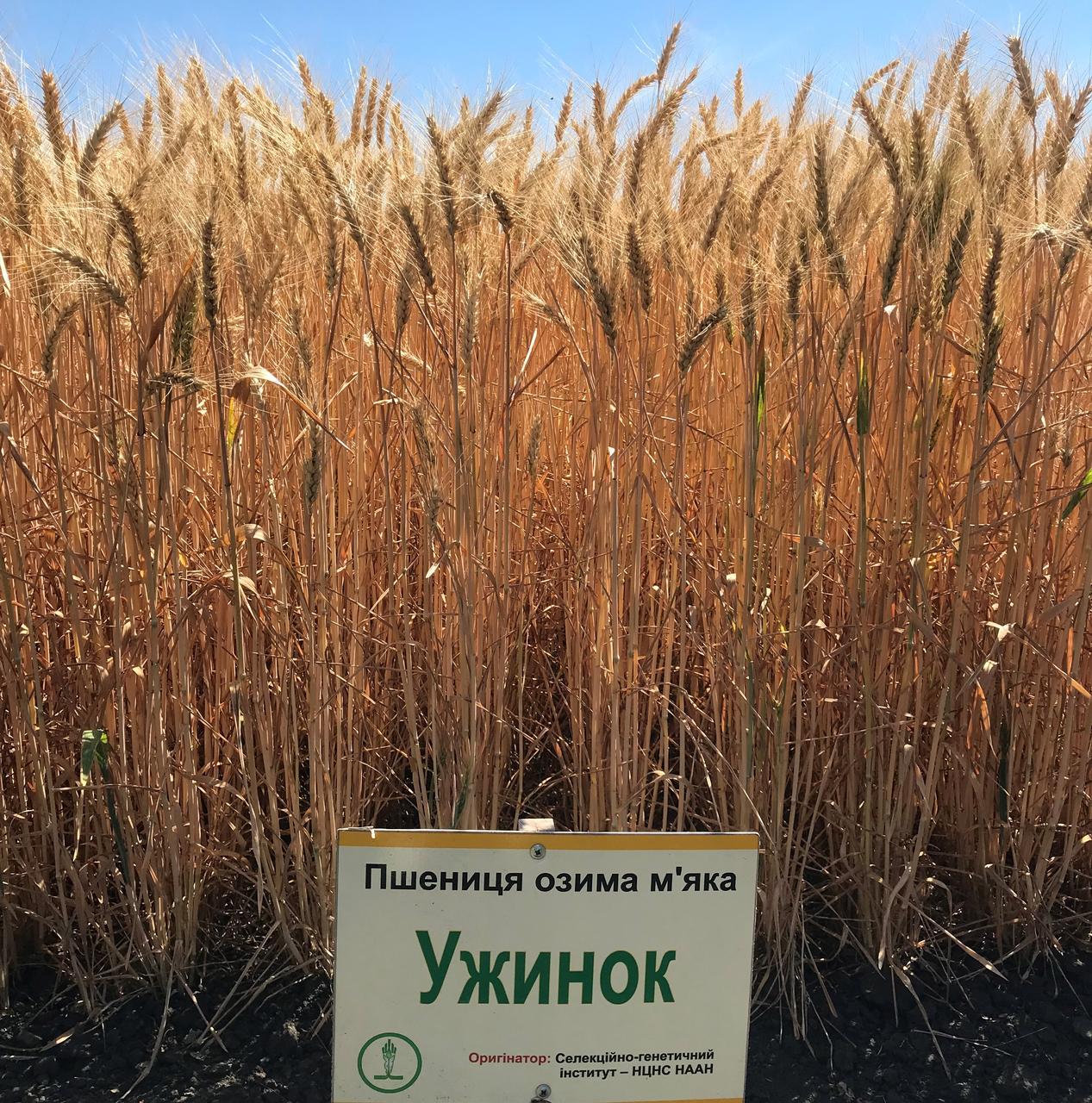 Семена пшеницы озимой Ужинок