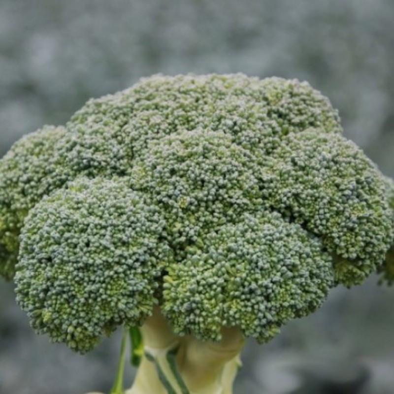 Семена капусты брокколи Стромболи F1, Hazera 2 500 семян | профессиональные