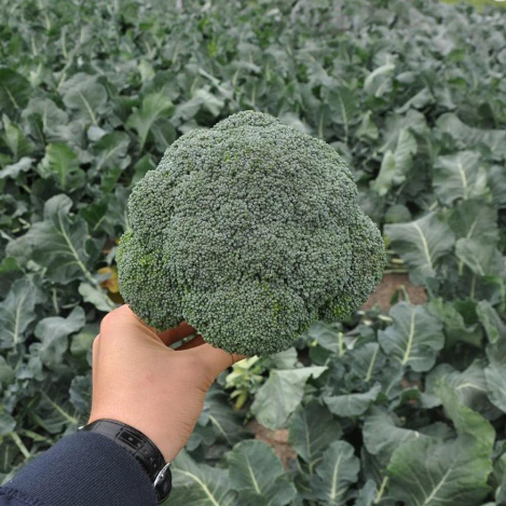 Семена капусты брокколи Верди (18-181) F1, Hazera 2 500 семян | профессиональные