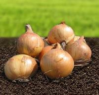Семена лука Скапино F1, Hazera 250 000 семян