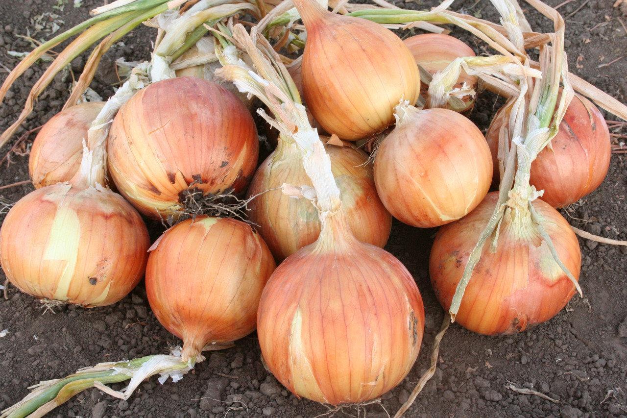 Семена лука Рино F1, Hazera 250 000 семян | профессиональные