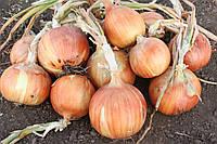 Семена лука Рино F1, Hazera 250 000 семян | профессиональные, фото 1