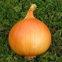 Семена лука Тареско F1, Hazera 250 000 семян   профессиональные, фото 1