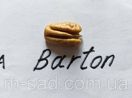 Саженцы ореха Пекан Бартон (однолетние), фото 2