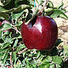 Саженец яблони Джеромини