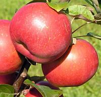 Саженец яблони Ред Крафт
