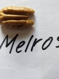 Саженцы Пекана Melrose (однолетний)