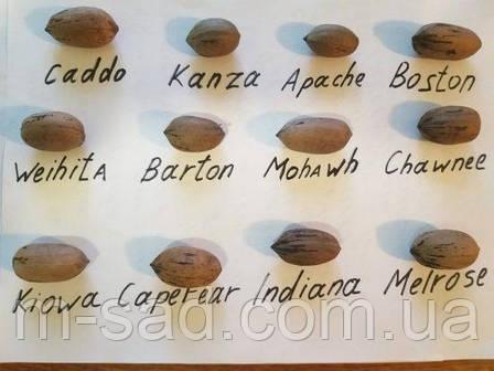 Саженцы ореха Пекан Вишита (однолетние), фото 2