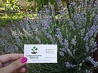 Лаванда настоящая семена (10 шт) леванда, лавенда, цветная трава насіння  + инструкция + подарок