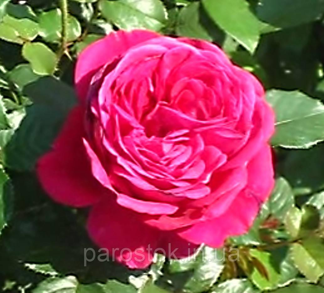 Роза Fisherman's Friend (Друг рыбака). Английская роза.