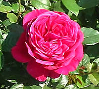 Роза Fisherman's Friend (Друг рыбака). Английская роза., фото 1