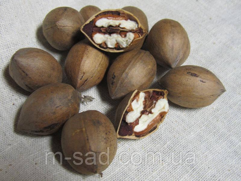 Саженцы ореха Пекан Канза (двухлетний)
