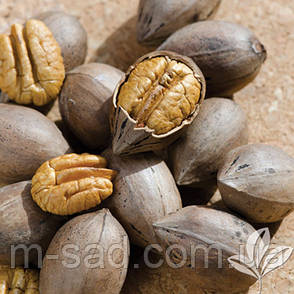 Саженцы ореха Пекан Канза (двухлетний), фото 2